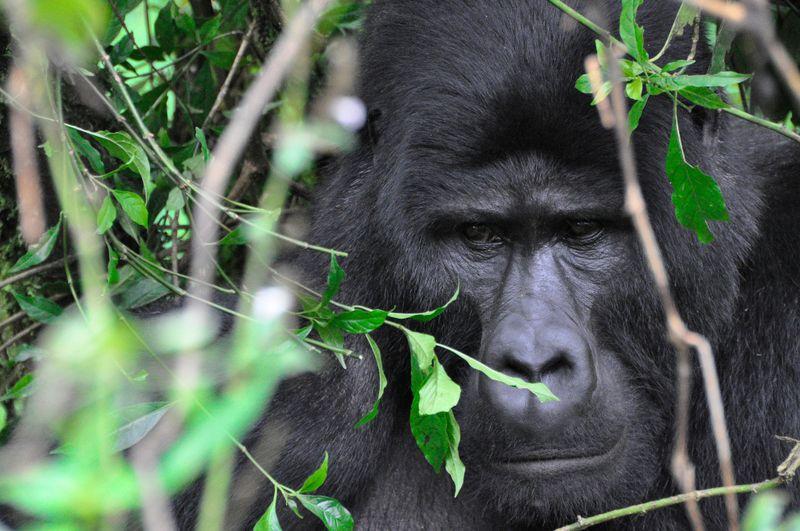 primate in uganda