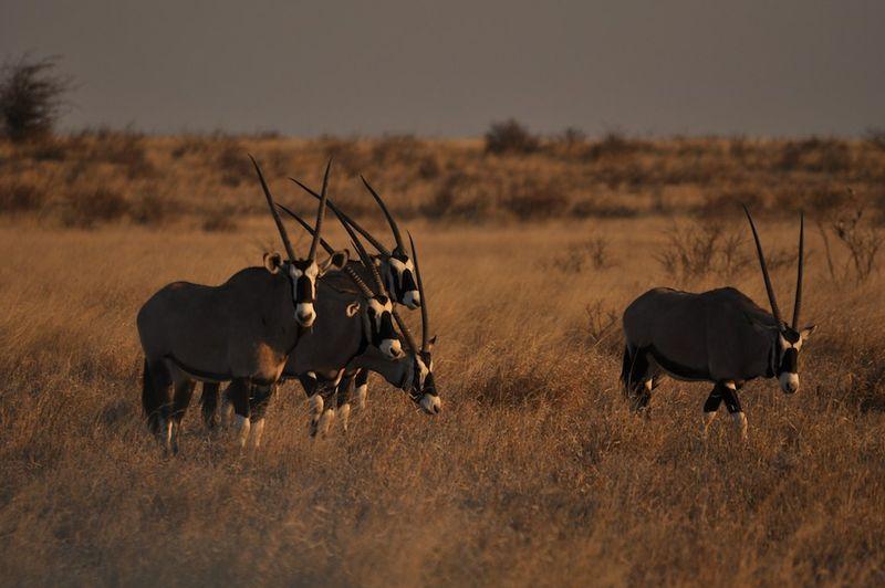 oryx in kalahari botswana