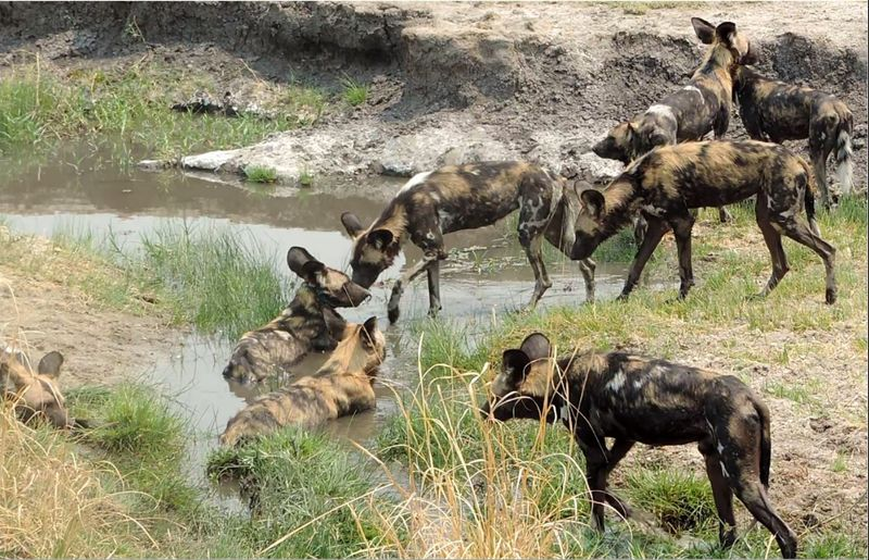wild dogs in lower zambezi national pak, zambia
