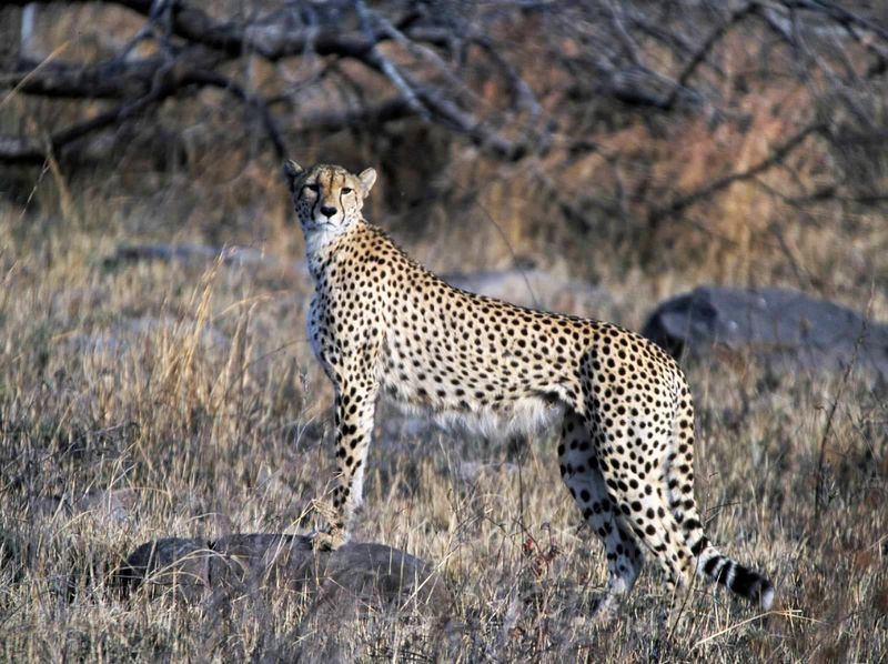 cheetah in kruger