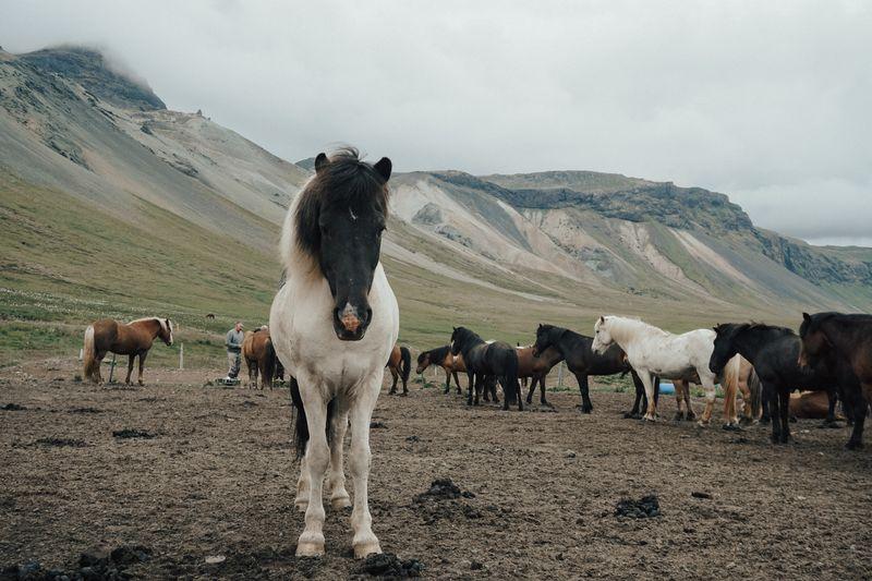 icelandic-horse