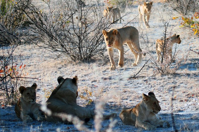 lions in namibia
