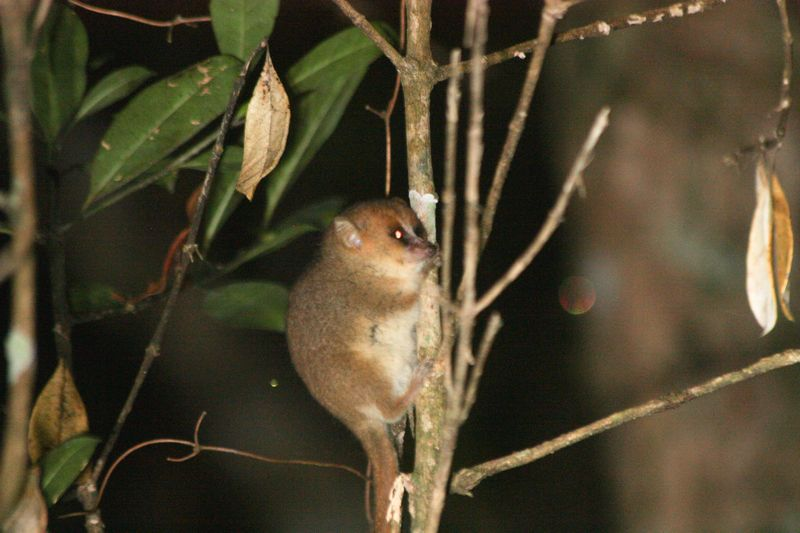 goodman's mouse lemur in madagascar