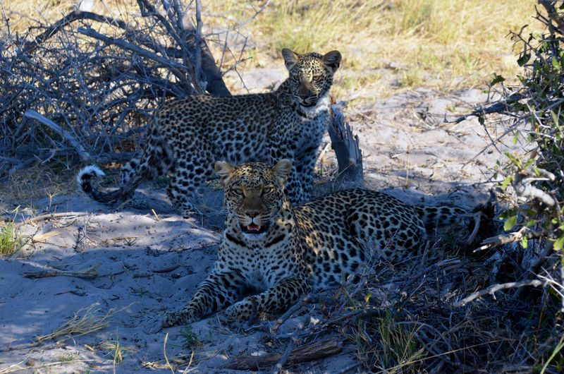 leopards in moremi