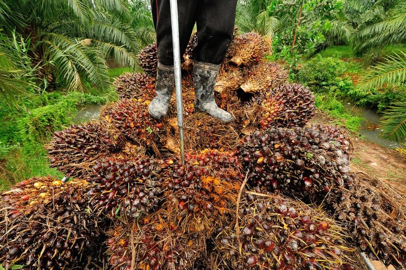 man walking over palm fruit pile for palm oil production