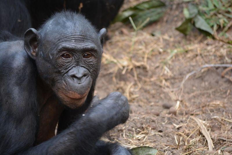 bonobo-congo