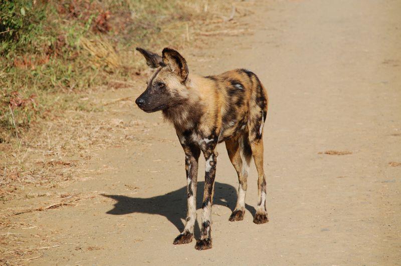 wild dog in the serengeti