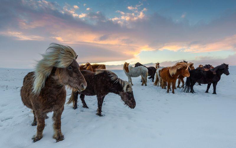 icelandic-horses-winter-iceland
