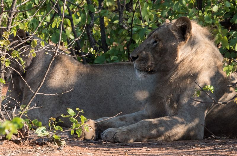 lioness in kruger national park south africa