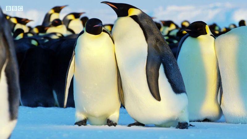 Emperor Penguins - BBC Dynasties