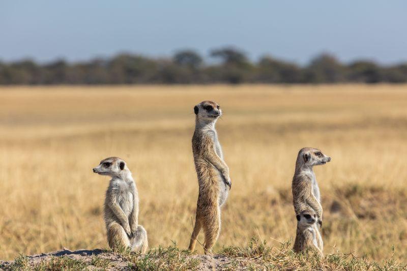 meerkats in Makgadikgadi Pans