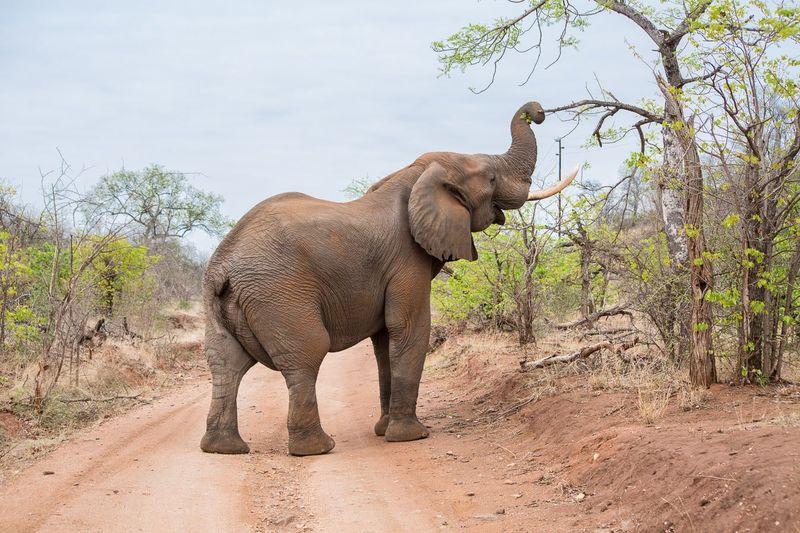 elephant in kruger, south africa