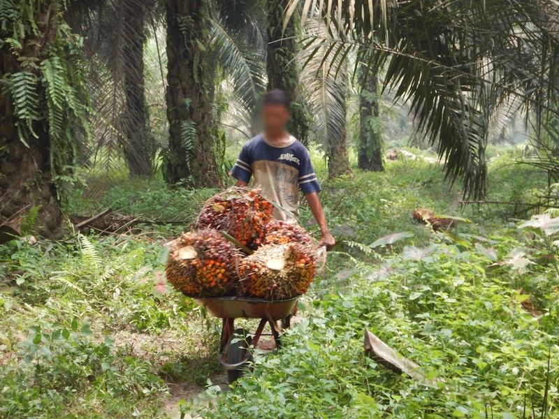 child laborer on palm oil plantation