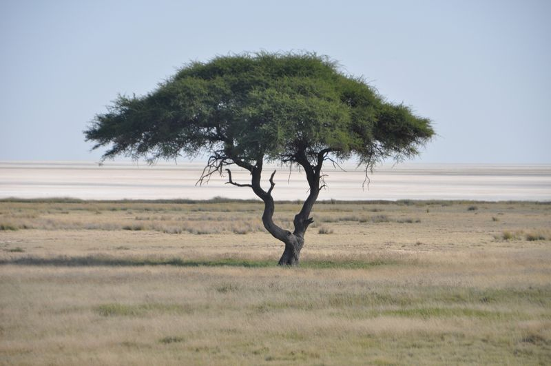 a lonely tree with the etosha pan background in namibia