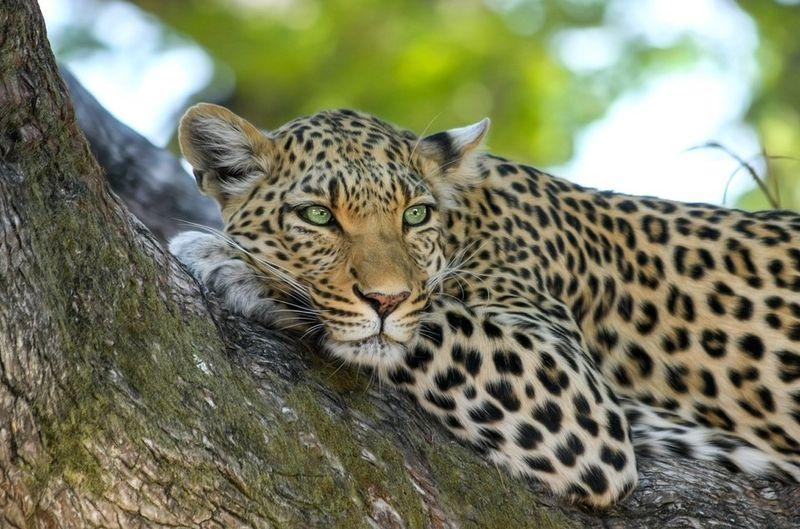 Leopard lying and african safari