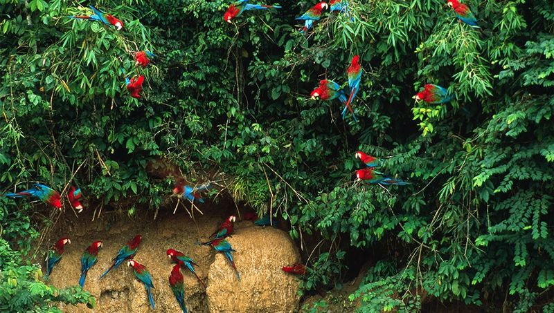 parrots in peru in the amazon