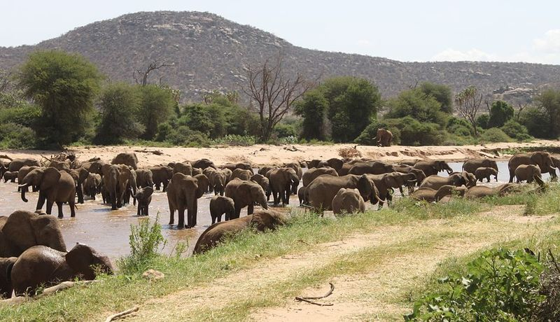 Elephants crossing the river in Samburu National Resereve