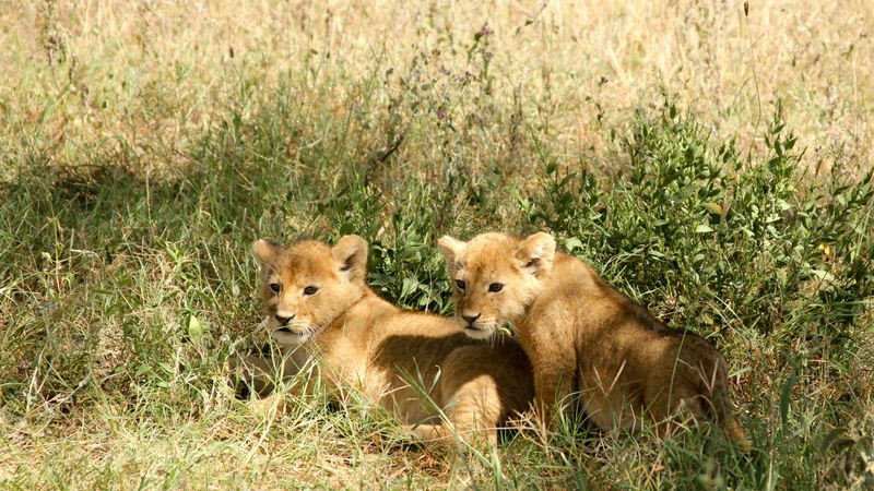 lion cubs in serengeti