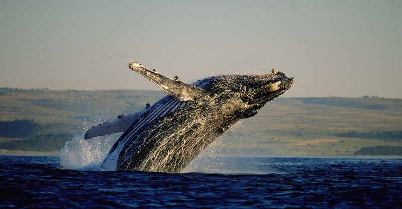 Whale Watching in Hermanus South African Tourism