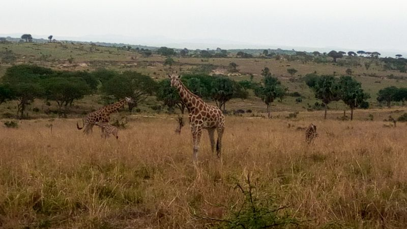 giraffes in Murchison Falls National Park uganda