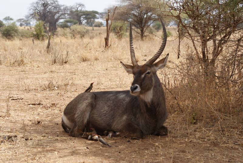 waterbuck in serengeti