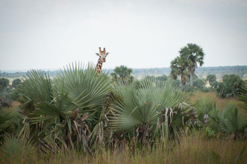 Giraffe-Murchinson-Falls-Uganda