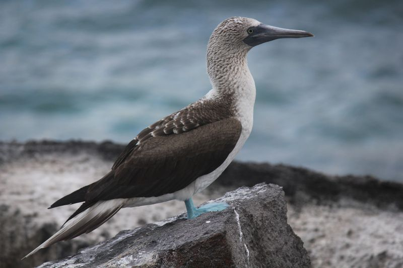 blue footed booby in ecuador