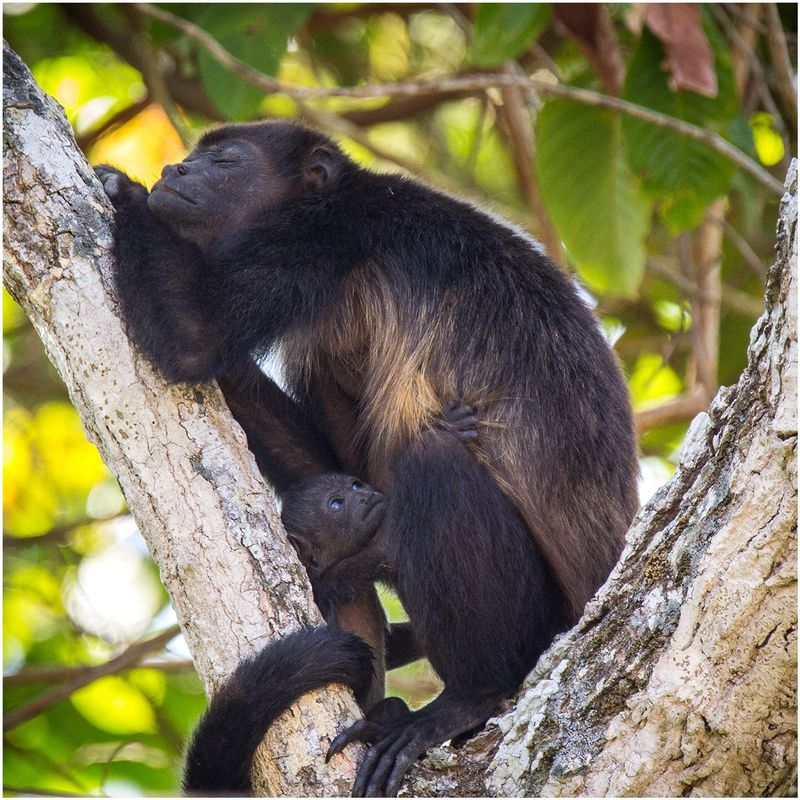 monkey on tree in montezuma costa rica