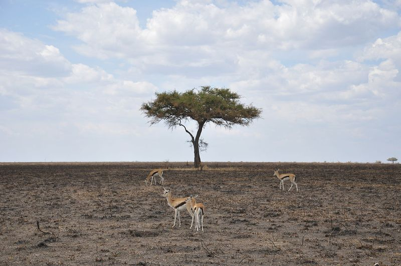 thomson's gazelles in serengeti