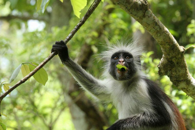 Jozani Forest monkey