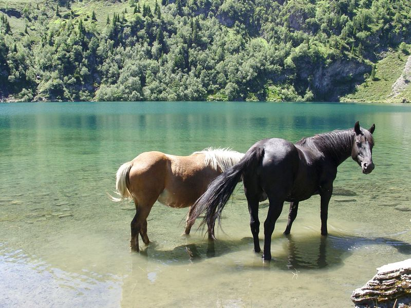 horses in lake