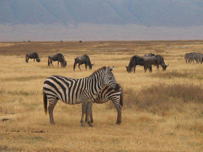 animals in ngorongoro crater