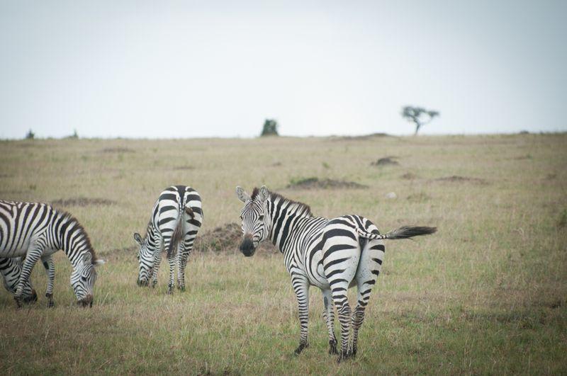 zebras-maasai-mara
